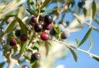 Espanhóis usam inteligência artificial para prever pragas de azeitona-da-oliveira