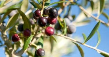 oliveira - azeitona - Vida Rural