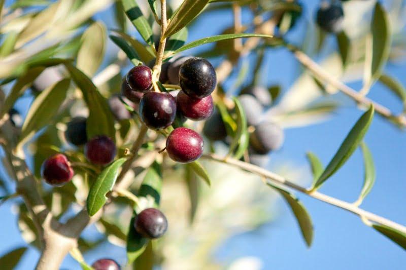 Produção de azeitona com crescimento de 20%