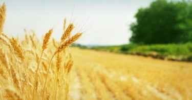 trigo Vida Rural