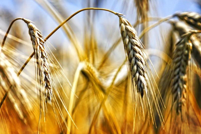 Seca afeta produção de cereais de outono/inverno