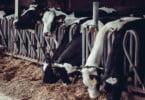 vacas leiteiras Vida Rural