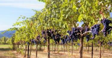 apoios à reestruturação da vinha