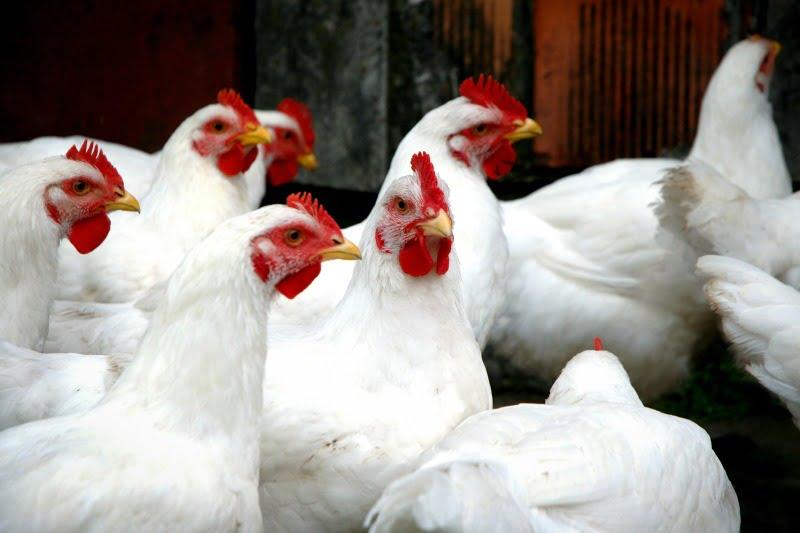 UE autoriza Pediococcus acidilactici como aditivo em alimentos para suínos e aves