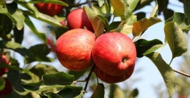 Dois terços da área de plantação de fruta da UE estão concentrados em três países