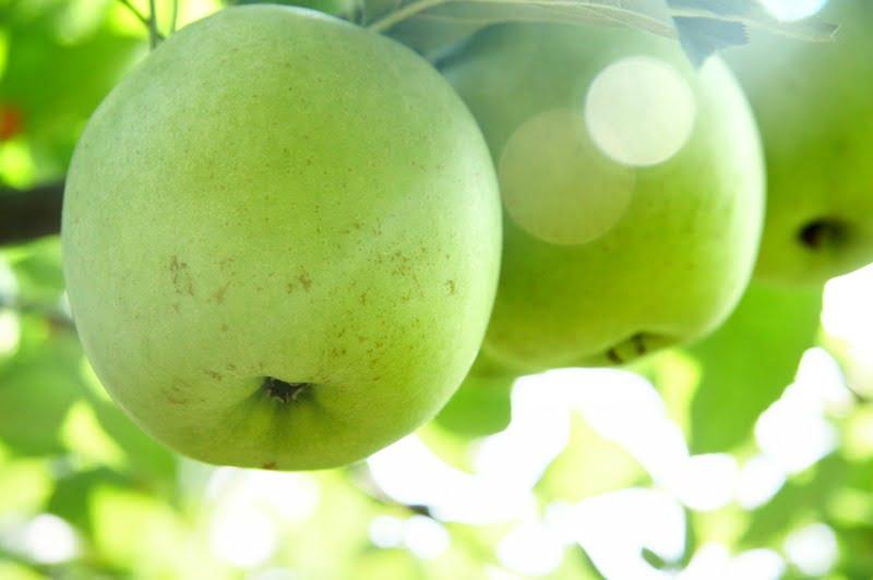 maçã - Vida Rural