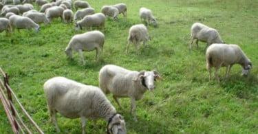 ovelhas Serra da Estrela Vida Rural