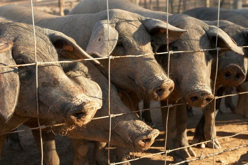 exportações de suínos