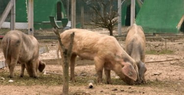 produtores de porco bísaro