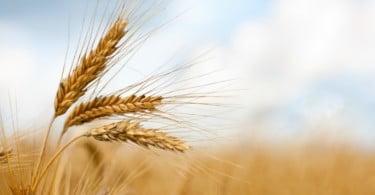ANPOC lança marca 'Cereais do Alentejo'
