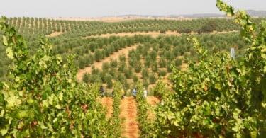 Viticultura sustentável da Quinta do Cardo