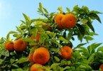 citrinos