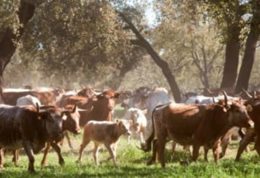 Companhia das Lezírias - gado - Vida Rural
