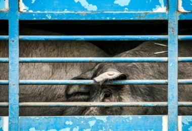 Reportagem sobre o porco AlentejanoCrédito: Rodrigo Cabrita