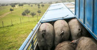 Porco Alentejano Vida Rural