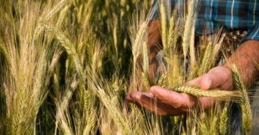 produção de trigo