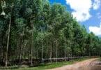 plantação de eucalipto vai dar multas