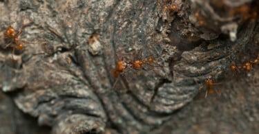 formigas cortadeiras é que inventaram a agricultura