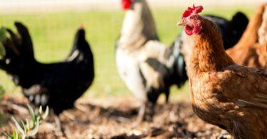 As aves de capoeira foram o produto agrícola cujo índice de preços mais cresceu em abril deste ano, face ao período homólogo.