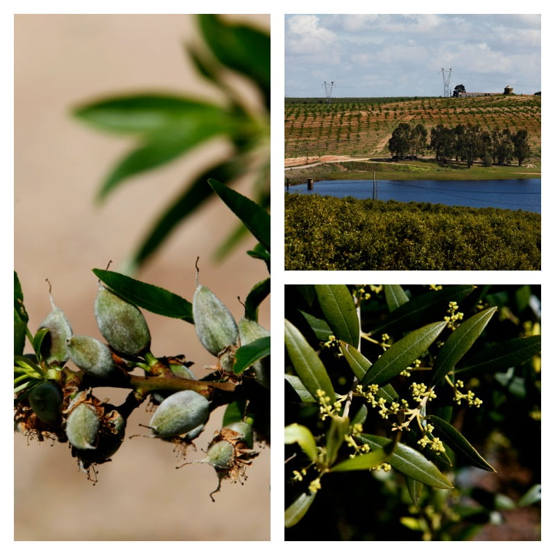 Carmelo Sanchez possui uma herdade, com barragem própria, onde plantou olival superintensivo da variedade Arbequina. Mais recentemente, começou também a plantar amendoal