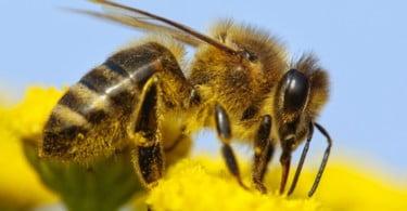 abelhas - Vida Rural