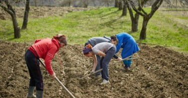 Family of peasants cultivating potatoes on a fresh plowed field