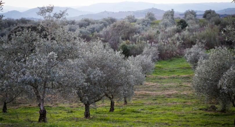 olival Trás os Montes Vida Rural