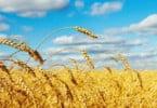 trigo - Vida Rural