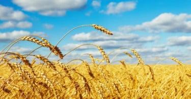 Produtividade dos cereais cai nesta campanha