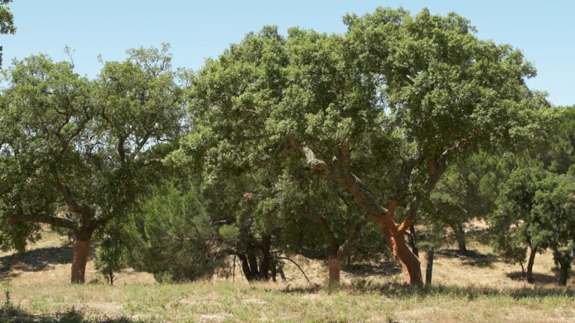 III Montado domina floresta portuguesa Ibérico do Pasto e do Montado realiza-se esta semana