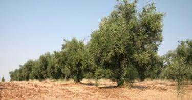 Produção de azeite cai por causa da seca