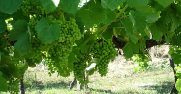 Região dos Vinhos Verdes espera crescimento de 15% na produção