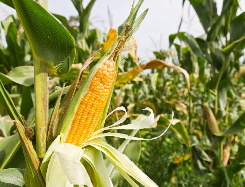 Agricultores brasileiros preocupados com a produção de milho
