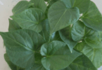 Universidade de Évora testa plantas de batata-doce isentas de vírus