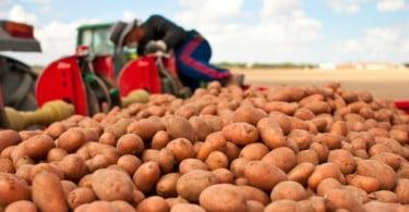 Preço da batata cai 71% em julho