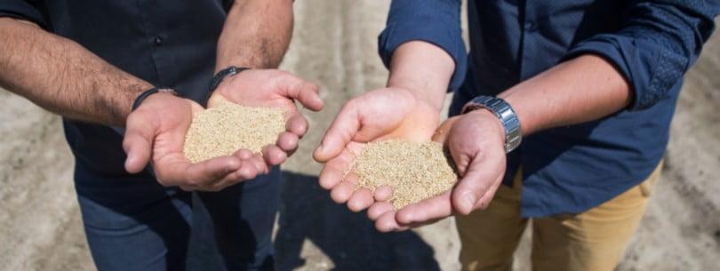 'Grão de ouro' já é cultivado em Portugal