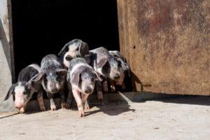 Criação de porco Bísaro