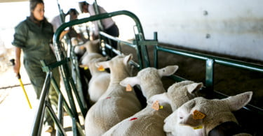 Pequenos Ruminantes - veterinária Ana Simões - Vida Rural  (3)