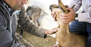 Pequenos Ruminantes - veterinária Ana Simões - Vida Rural  (8)