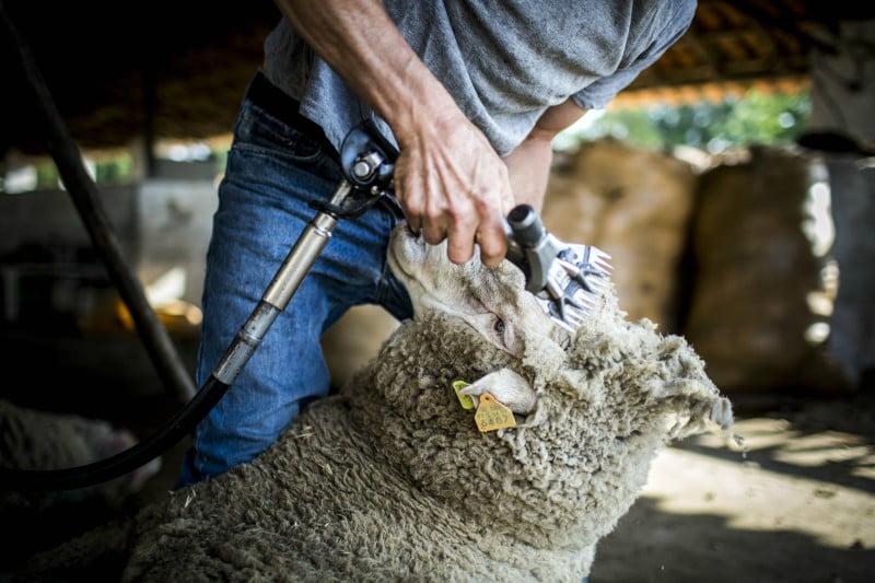 O regresso da lã...Merino