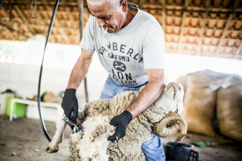 tosquia de ovelha - Vida Rural