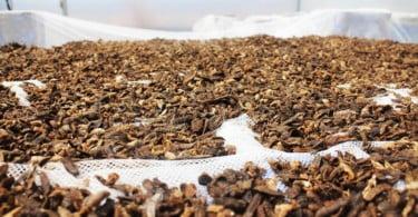 Startup usa insetos para transformar resíduos vegetais em fontes de alimentação animal