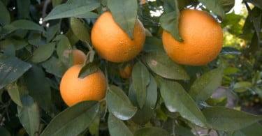 Risco de ataque da mosca do Mediterrâneo elevado nos citrinos