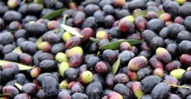 Produção mundial de azeitona de mesa deverá atingir recorde