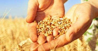 90% das sementes utilizadas na agricultura portuguesa são importadas