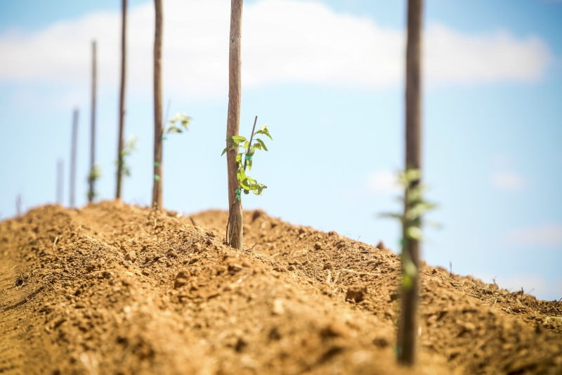 Viveiristas e importadores apostam em amendoeiras e oliveiras