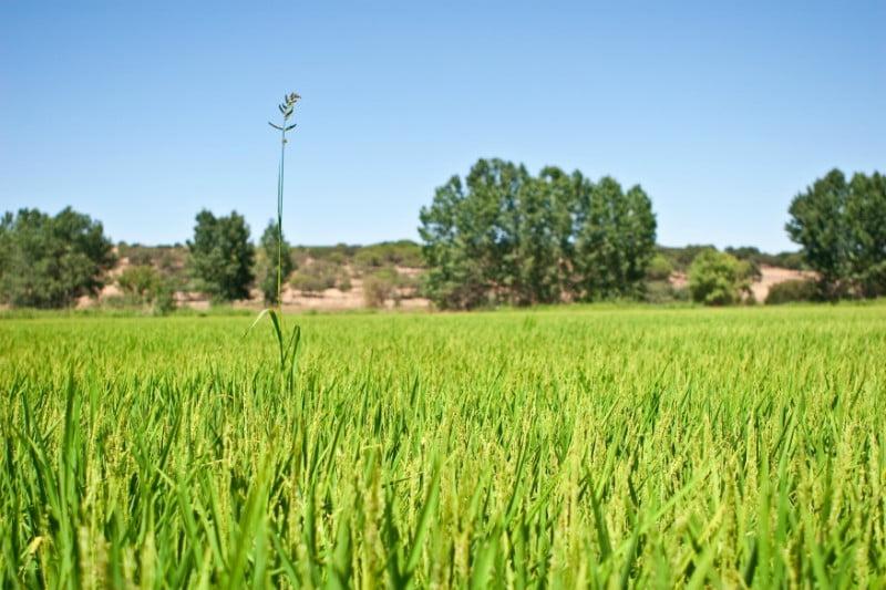 Produtores de arroz preocupados com a produção do próximo ano