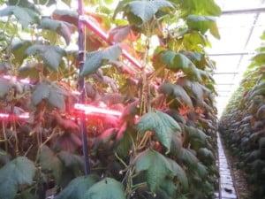 Figura 1. Estufa com suplemento de luz através réguas de com LEDs vermelhos e azuis para complementar a iluminação natural em Wageningen – Holanda.
