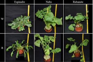 Figura 6. Plantas de espinafre, nabo e rabanete sob LEDs brancos (em cima) e sob LEDs vermelhos (em baixo), com uma intensidade luminosa de 340 µmolm-2s-1