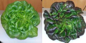 Figura 8. Aspeto de uma mesma cultivar de alface quando sujeita a diferentes condições de iluminação